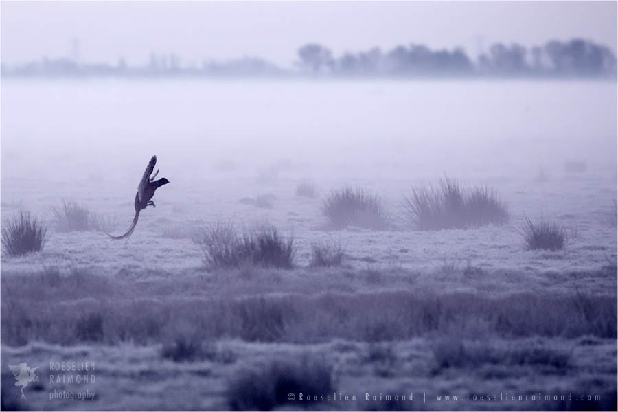 Pheasant silhouette at sunrise