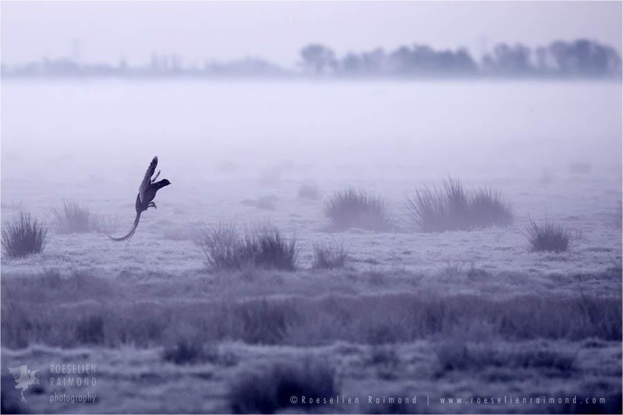 Pheasant silhouette at sunrise