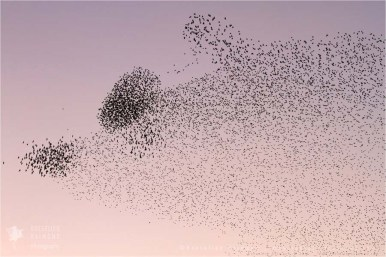 Flock of Starling silhouette at sundown