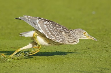 diving, black-crowned night heron,Nycticorax nycticorax,night heron,hunting