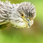 night_heron_juvenile