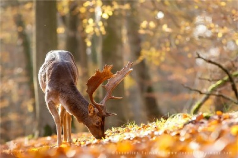 fallow deer wall decoration fine art photography