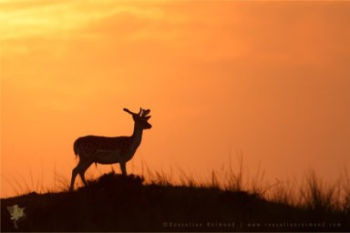 Fallow Deer fine art photography