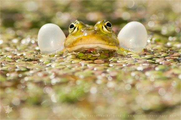 Pool Frog Pelophylax lessonae