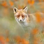 fox vulpes fuchs zorro renard autumn berries mood buckthorn