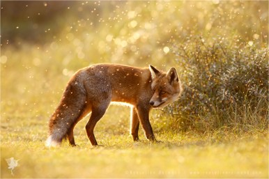 fox vulpes fuchs zorro renard flies sunset backlit backlight rim rimlight