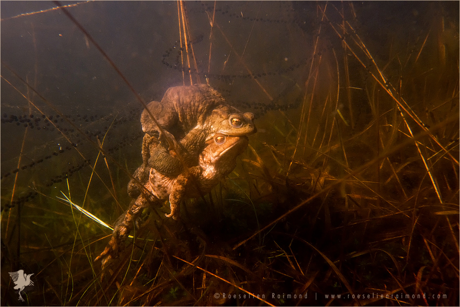 Common Toads in Amplex Common Toad (Bufo bufo) male en female in amplex