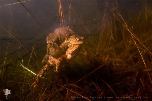 Common Toads in Amplex Common Toad (Bufo bufo) male en female in amplex