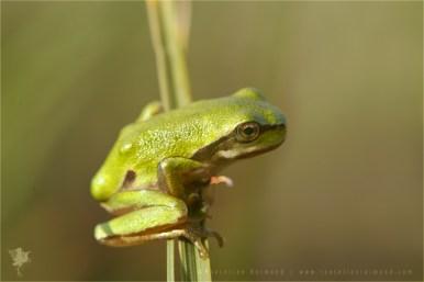 Hyla arborea tree frog amphibian baby