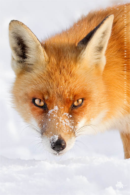 Red Foxes in the Snow fine art photo art