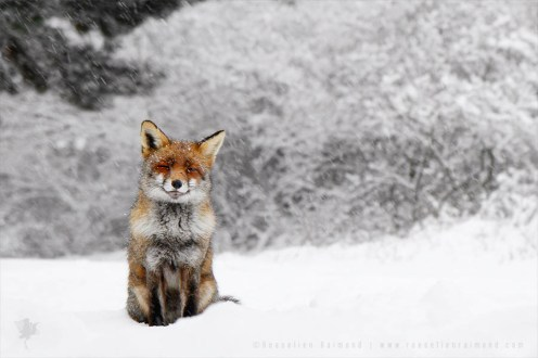 Happy fox photo art fine art print
