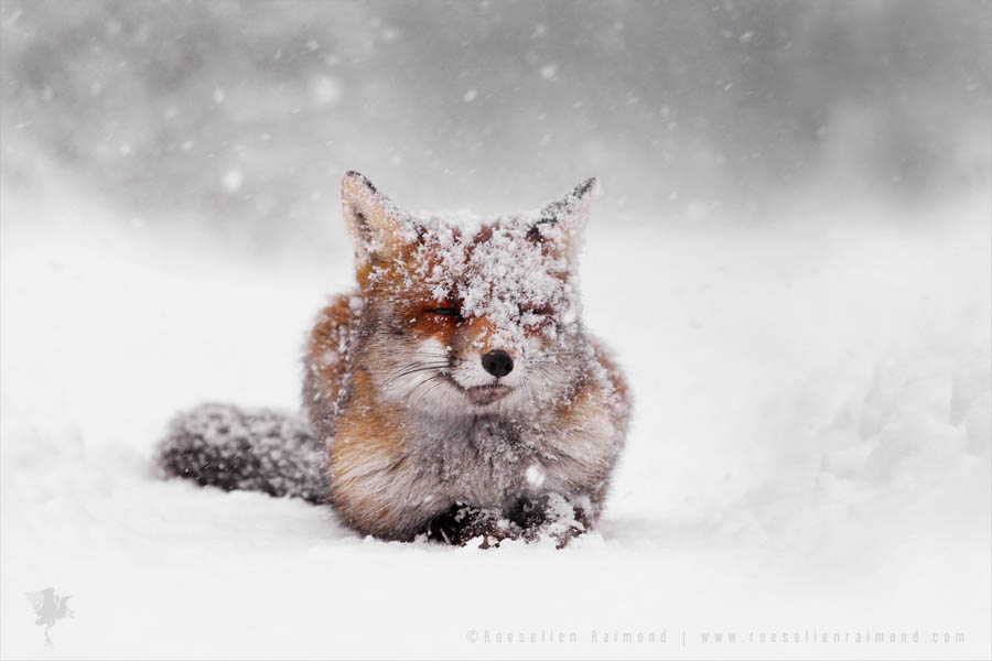 Red Fox Lying in the snow wall decoration photo art