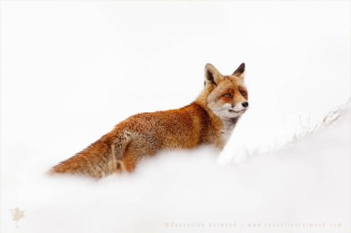 Red Fox in a the snow fine art wall decoration