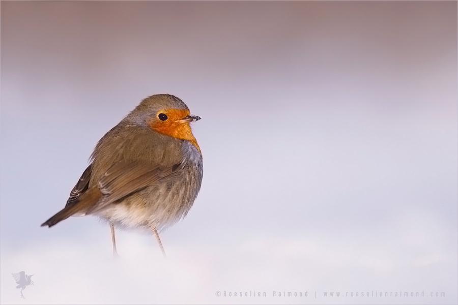 European Robin Erithacus rubecula winter snow cold