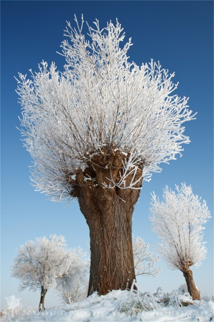 A frosted willow on a very cold and bright winter day against a  blue sky in a snow-covered landscape