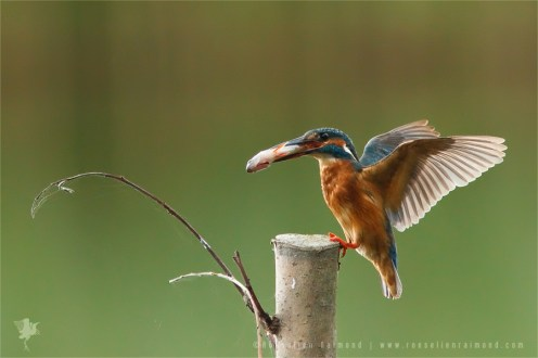 Common Kingfisher Alcedo atthis IJsvogel fish landing