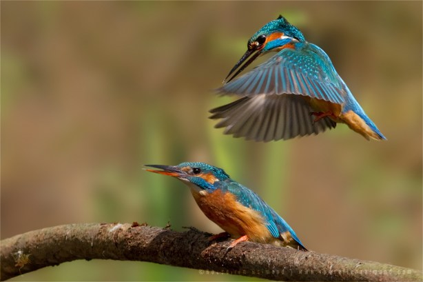 Common Kingfisher Alcedo atthis IJsvogel copulating mating courtship
