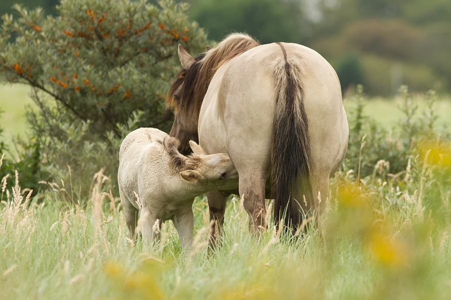 Konik horse Equus caballus foal drinking mother