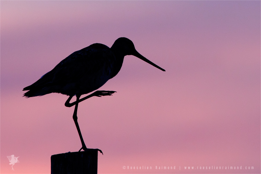 Black-tailed Godwit limosa limosa silhouette bird