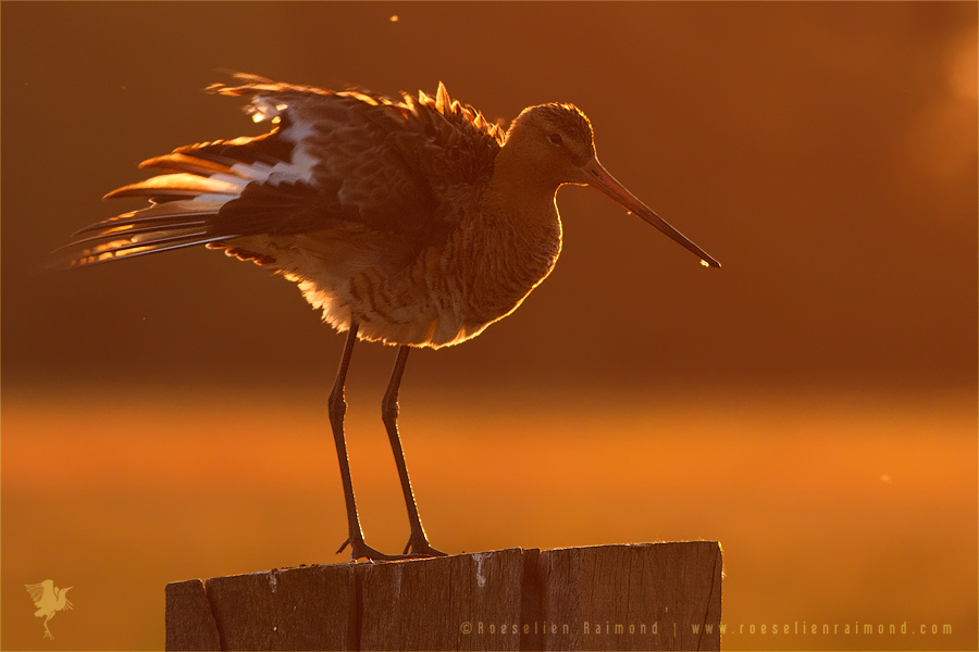 Black-tailed Godwit limosa limosa bird backlit backlight