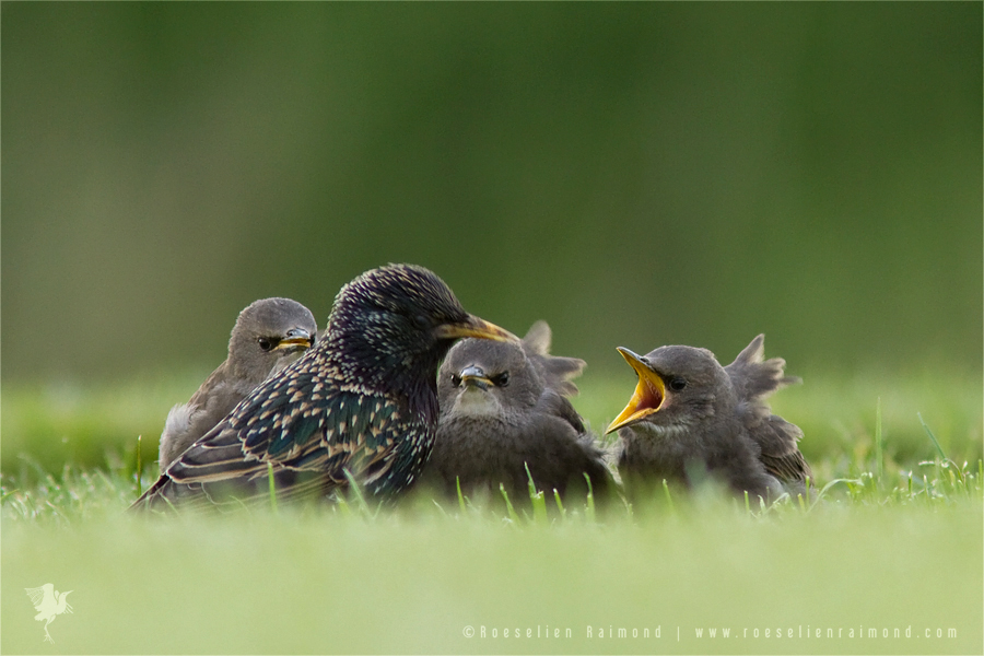 Common Starling Sturnus Vulgaris youngster baby nestling