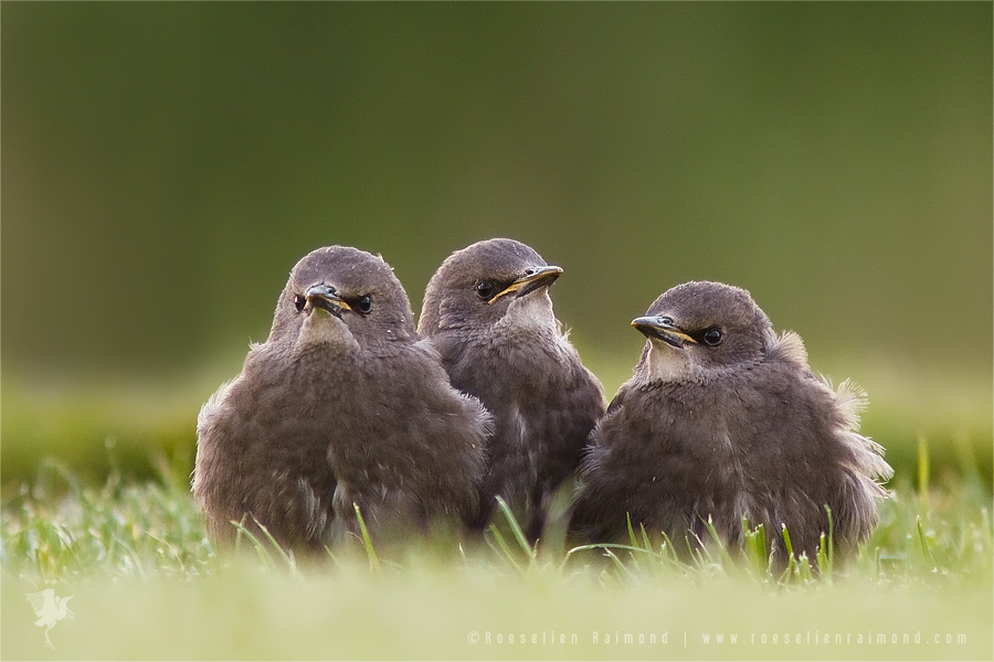_MG_8957_starling_nestlings
