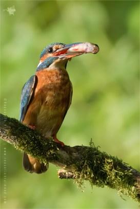 Common Kingfisher Alcedo atthis IJsvogel fish