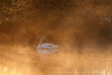 Mute Swan Cygnus olor mist fog sunrise