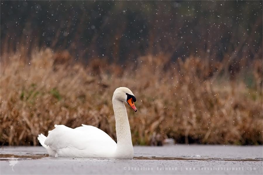 Mute Swan Cygnus olor winter snowing