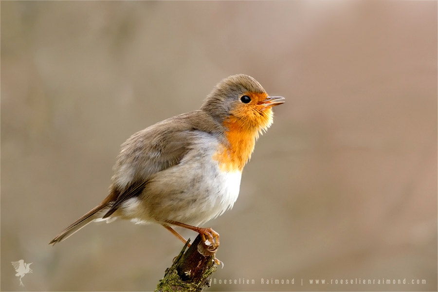 European Robin whistling Erithacus rubecula feathers plumage