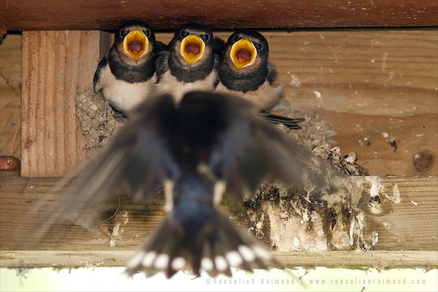 barn swallow, brood, Hirundo rustica, juvenile, nestling