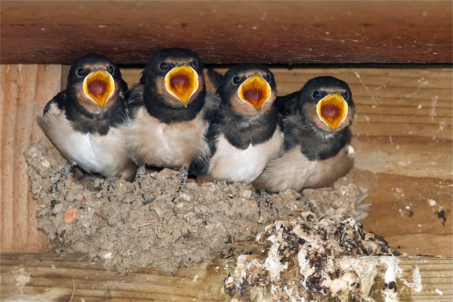 Species: Barn swallow (Hirundo rustica) | Roeselien ...