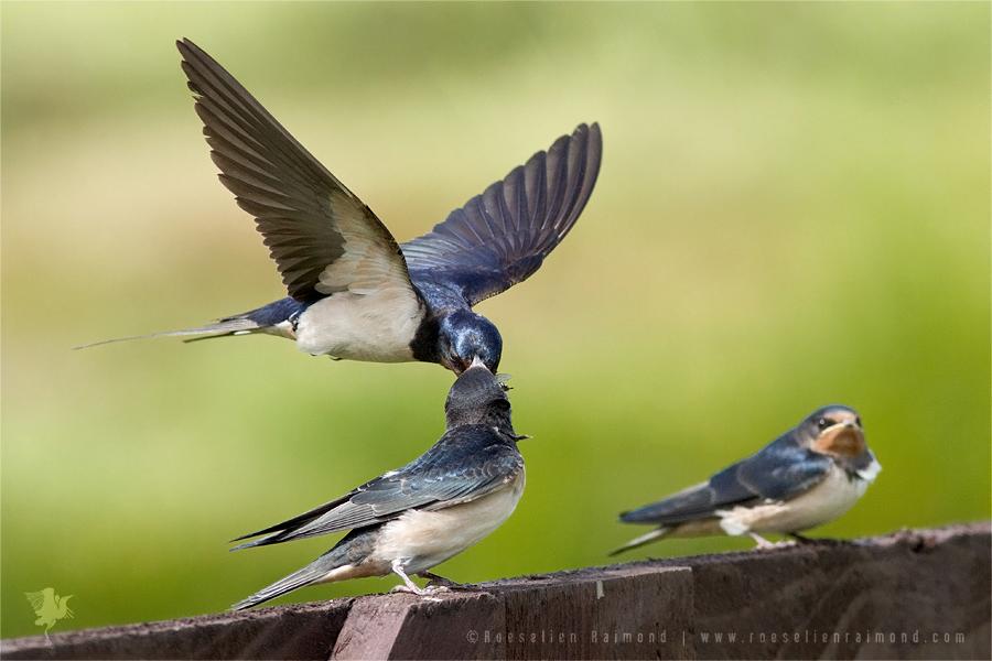 Species Barn Swallow Hirundo Rustica Roeselien