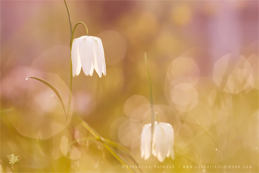 Dew covered White Snake's Head fritillary(Fritillaria meleagris) at sunrise