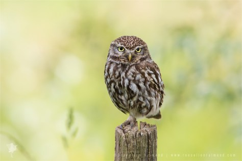 Little Owl Athene noctua owlet younster nestling backlight back-lit Bird photography