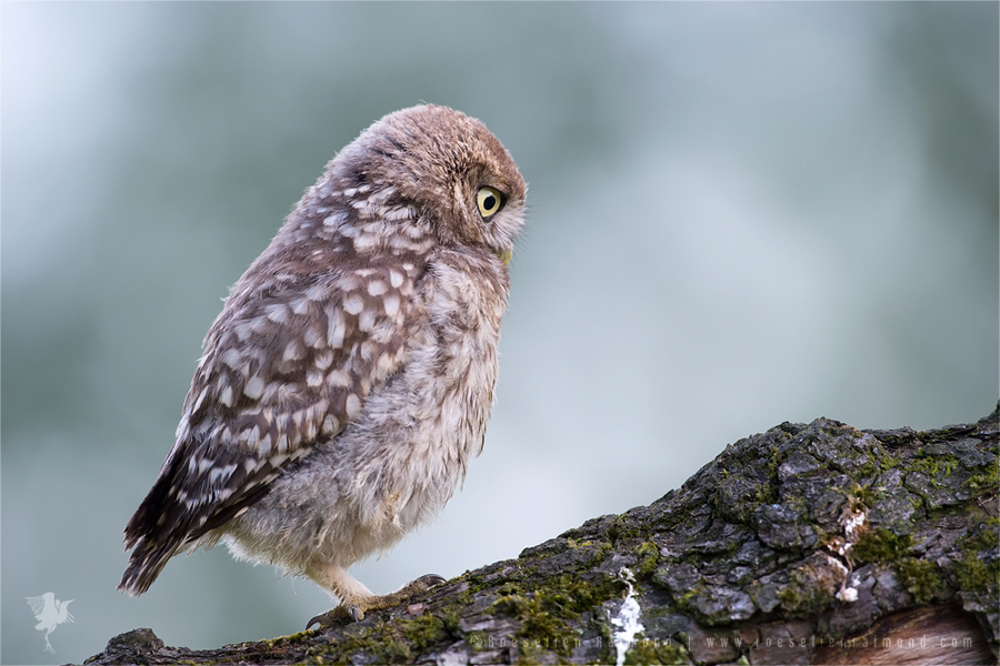 Little Owl Athene noctua owlet younster nestling backlight back-lit Bird photography owlet juvenile youngster nestling