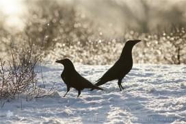 crow bord frost rime hoar winter white