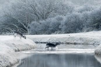 fallow deer dama dama frost rime hoar winter white