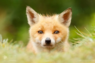 young red fox kit photo art wall decoration baby animal