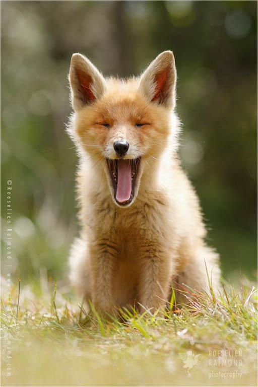 Little Yawning Fox Kit baby animal
