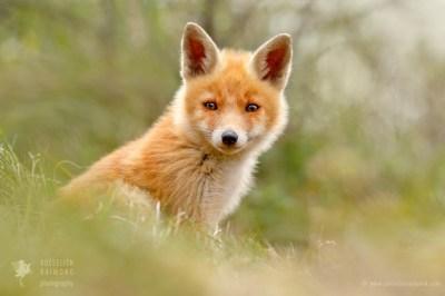 photo art wall decoration of a fox kit