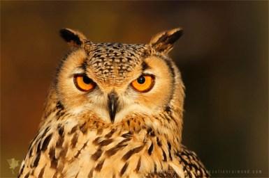 Portrait of a Eurasian Eagle-Owl (Bubo bubo)