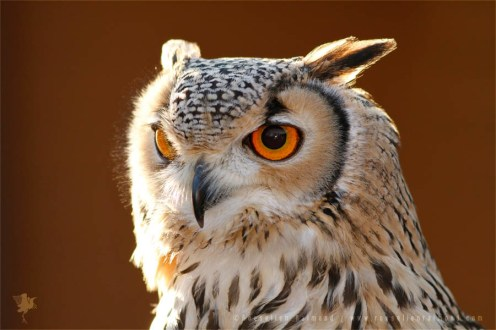 Portrait of a back lit Eurasian Eagle-Owl (Bubo bubo)