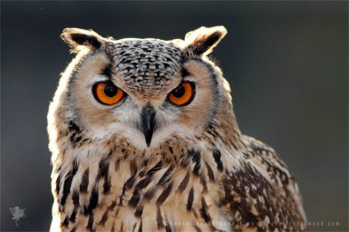 Portrait of a Eurasian Eagle-Owl (Bubo bubo)