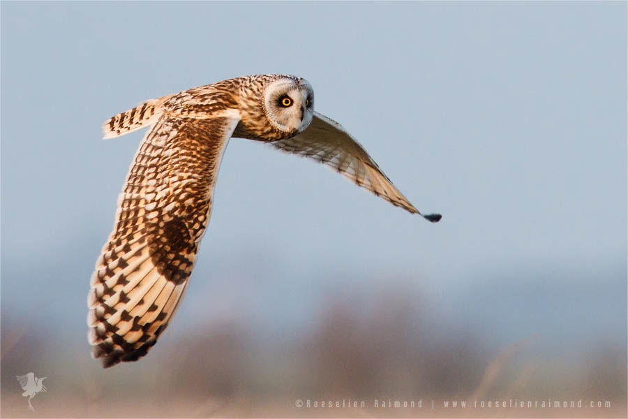 Flying short-eared owl