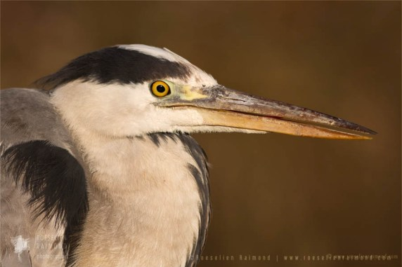 Portrait of an adult Grey heron (Ardea cinerea) on a cold winter day