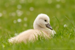 Mute Swan (Cygnus olor) cygnets in the grass, surrounded by dasies