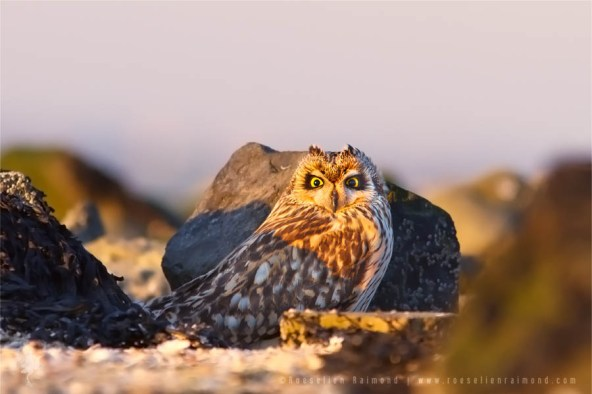 Short-eared owl sitting on the ground
