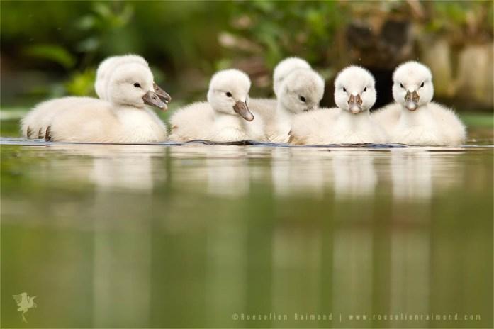 Mute Swans (Cygnus olor) cygnets in the water