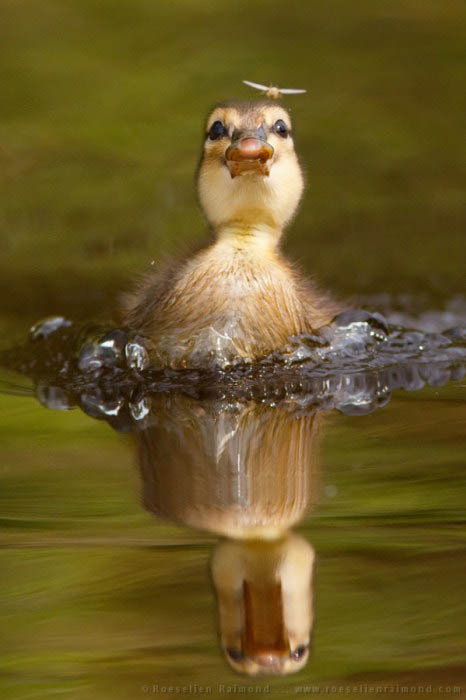 Baby duckling just about to catch a tasty mosquito